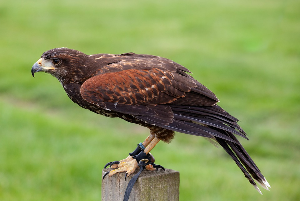 Harris Hawk, Hippy, Microphone, Green, Falconer, Raptor