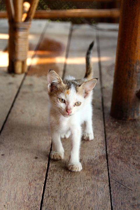 Cat, Mieze, Pets, Domestic Cat, Adidas