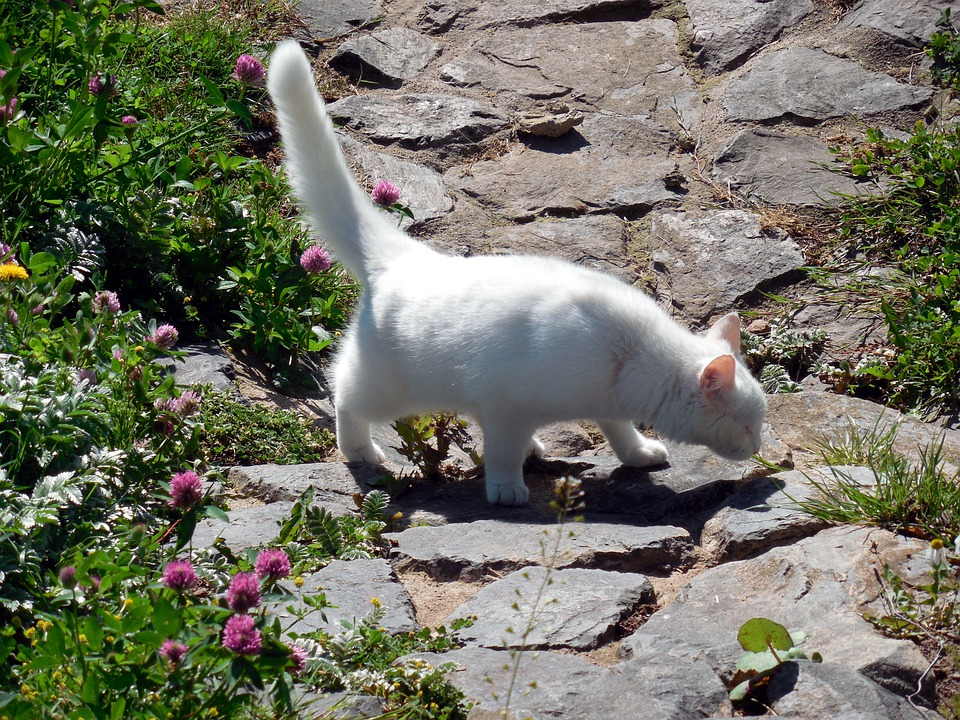 Cat, Mieze, Curious, Tail, White