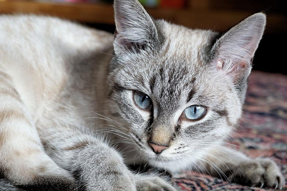 Cat, Domestic Cat, Kitten, Mieze, Mackerel, Pet