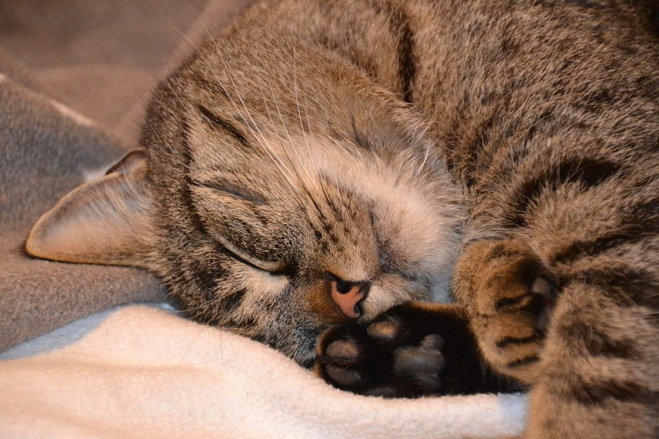 Cat, Domestic Cat, Pet, Mackerel, Cat Face, Mieze, Head