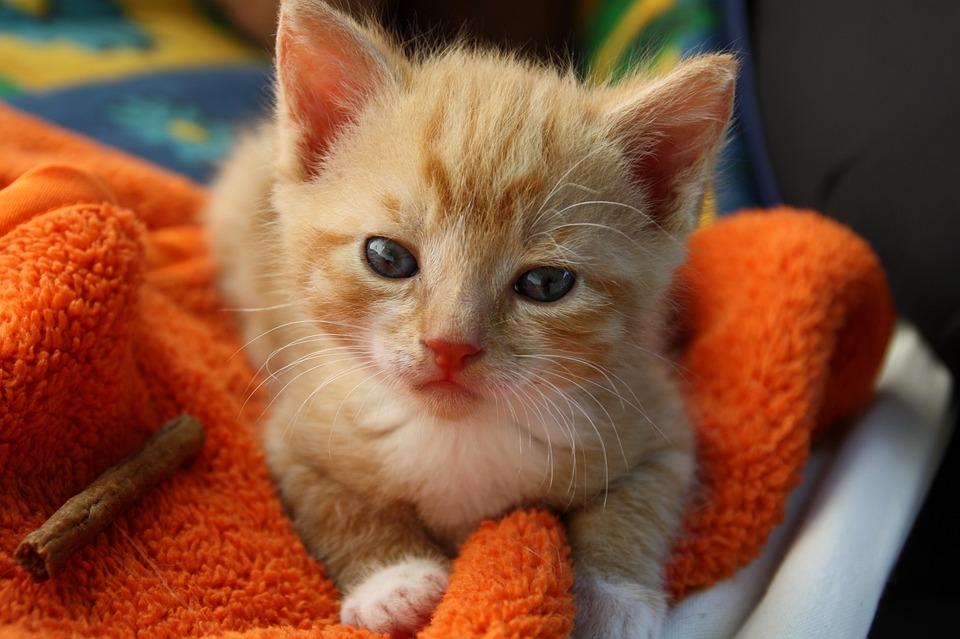 Cat, Young Cat, Playful, Pet, Mieze, Cat's Eyes