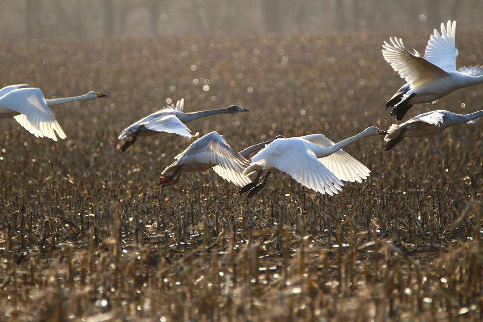 Whooper Swan, Bird, Swan, Arable, Field, Migratory Bird