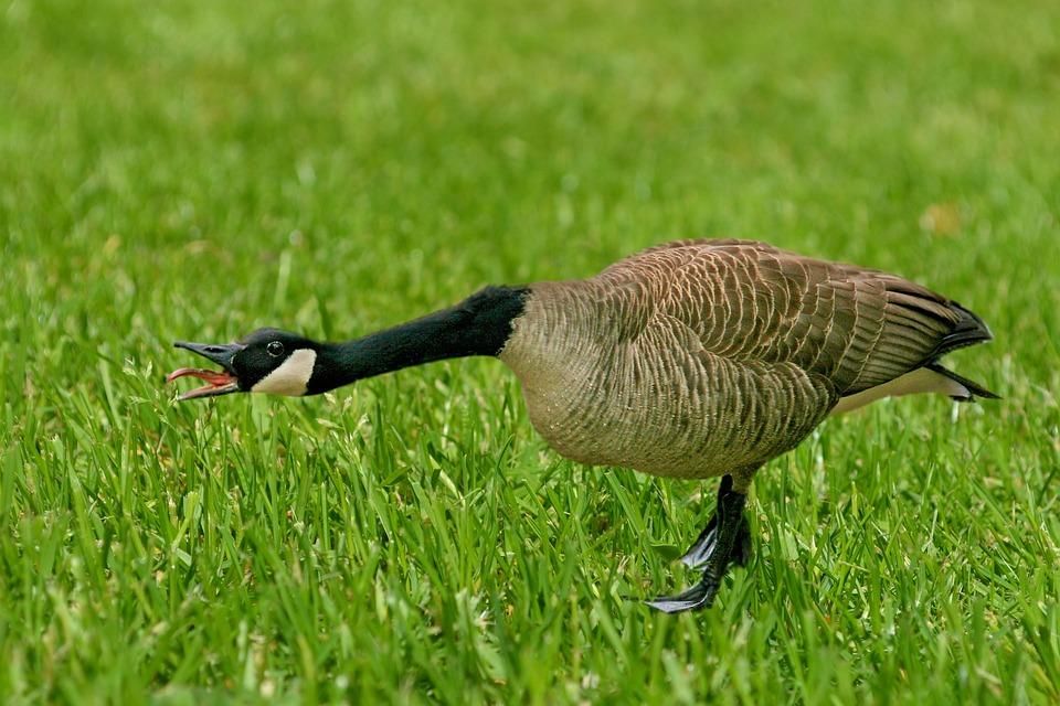 Goose, Canada Goose, Bird, Migratory Bird, Water Bird