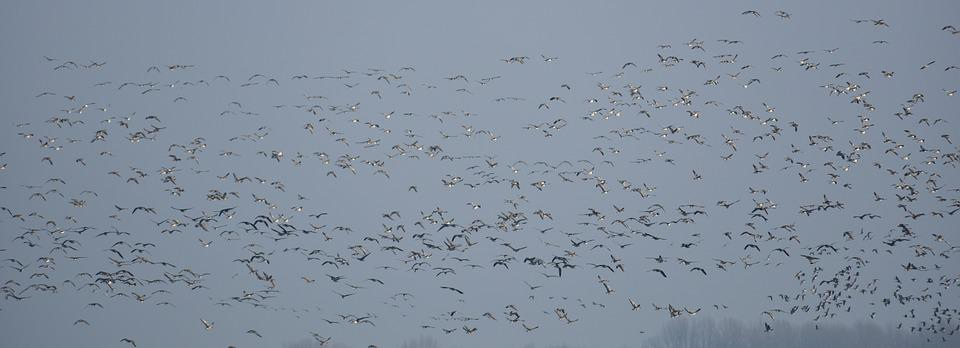 Flock Of Birds, Geese, Migratory Birds, Swarm