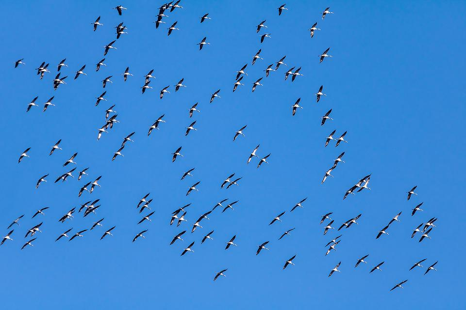 Birds, Geese, Migratory Birds, Animals, Nature