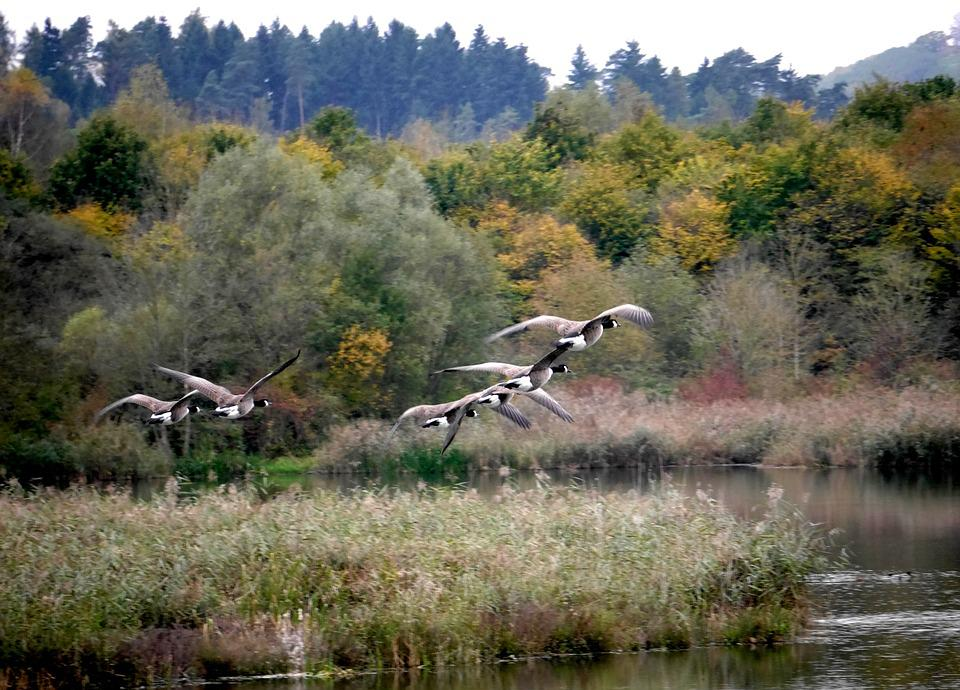 Migratory Birds, Nature, Geese