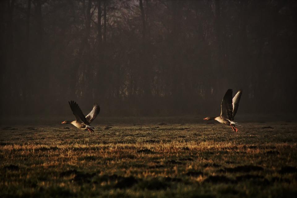 Wild Geese, Nature, Departure, Migratory Birds, Sunset