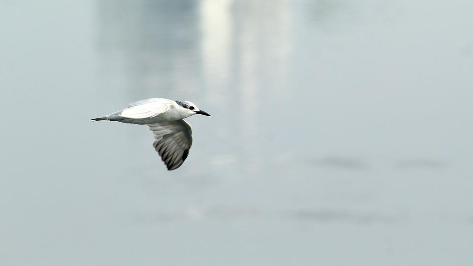 Tern, Whiskered, Bird, Avian, Flight, Flying, Migratory