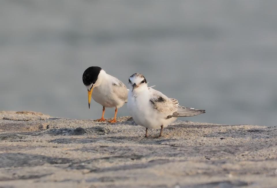 Little Tern, Plumage, Migratory, Seasonal, Bird, Wild