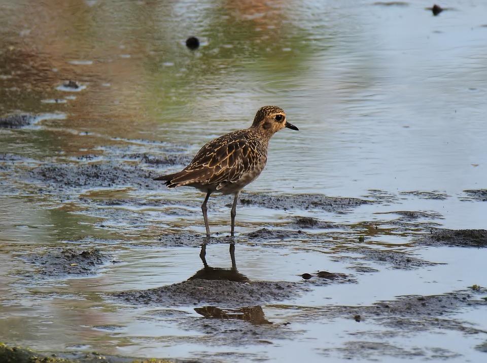 Migratory, Bird, Wild, Wildlife, Nature, Natural