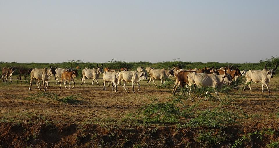 Cattle, Cows, Herd, Livestock, Bovine, Milch, Dairy