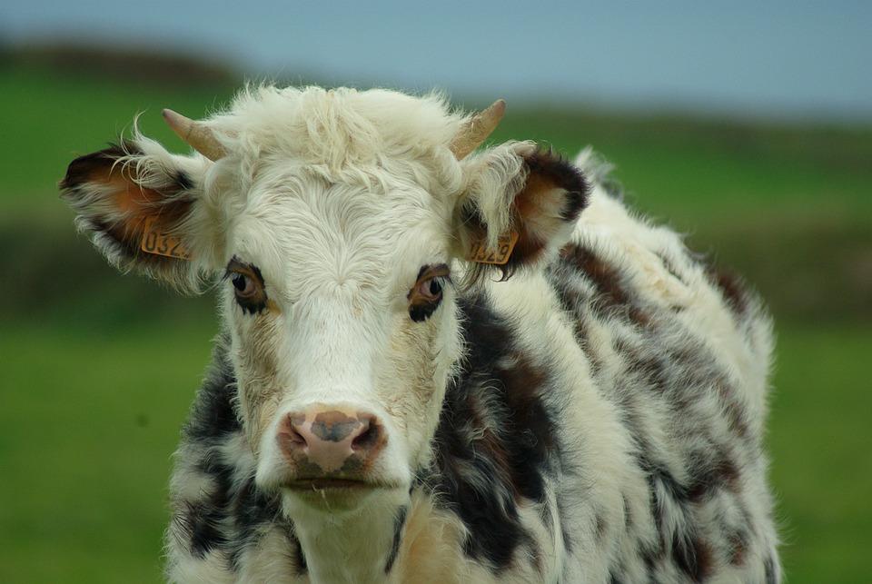 Normandy, Cow, Milk, Breeding