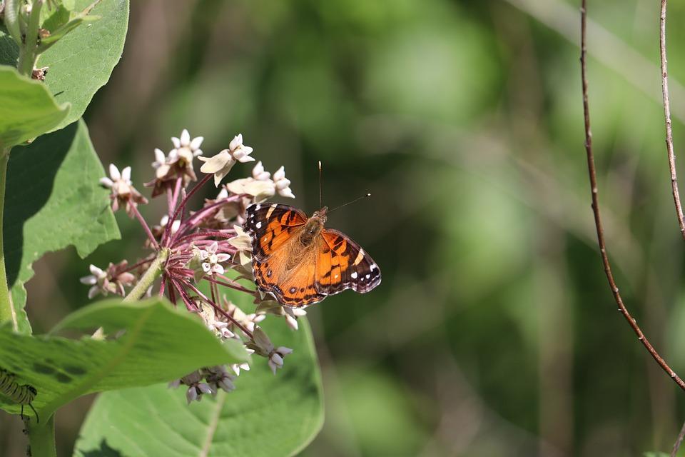 American Lady Butterfly, Butterfly, Flowers, Milkweed