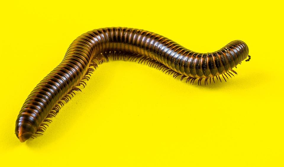 Arthropod, Giant Tausendfüßer, Millipedes