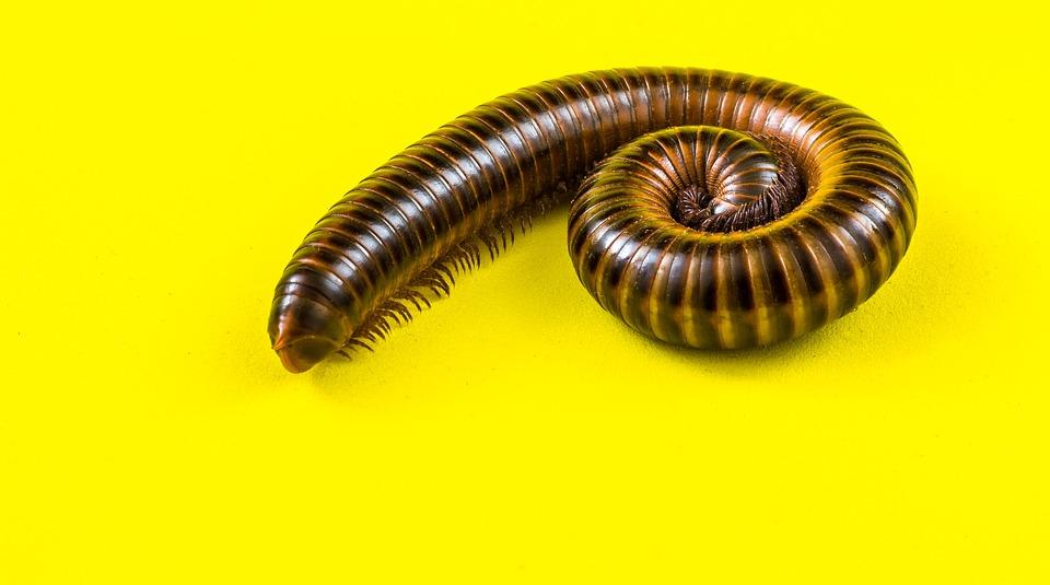 Giant Tausendfüßer, Millipedes, Arthropod