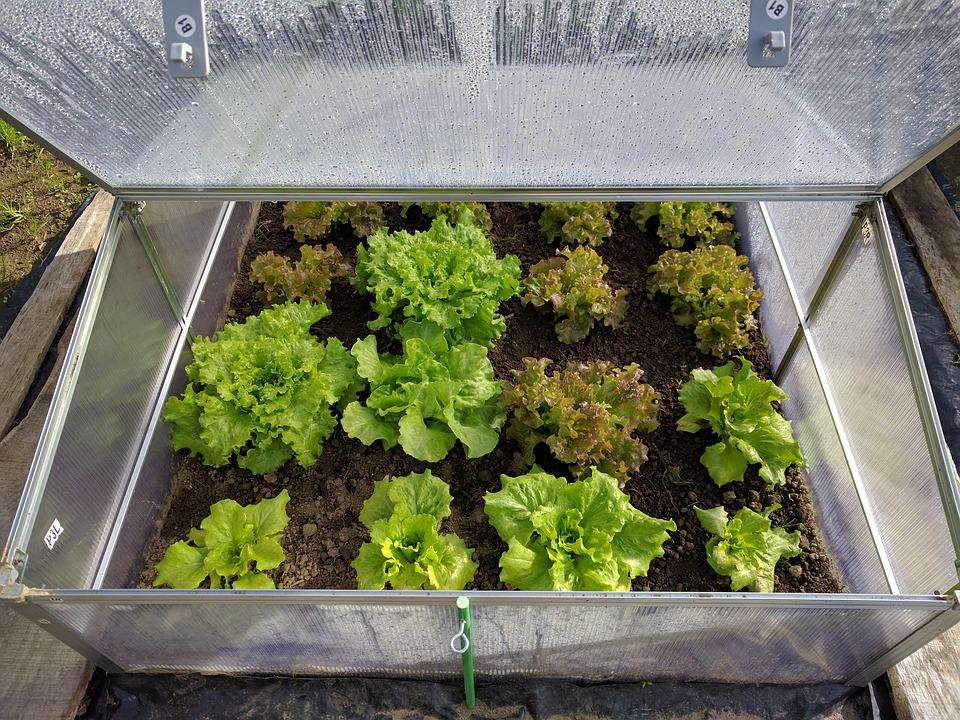 Mini Greenhouse Lettuce Vegetable