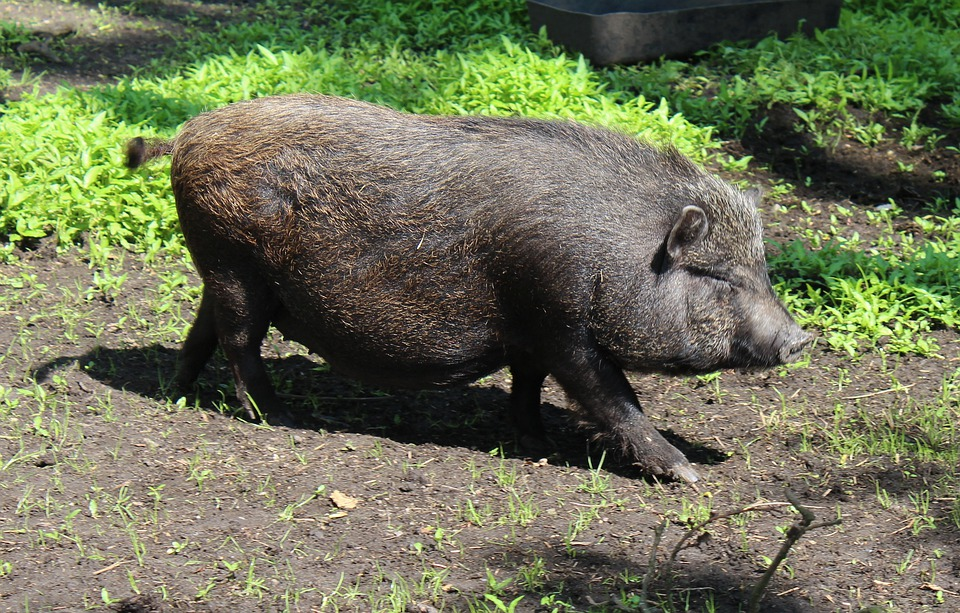 Miniature Pig, Pig, Domestic Pig, Domestic Pigs, Animal