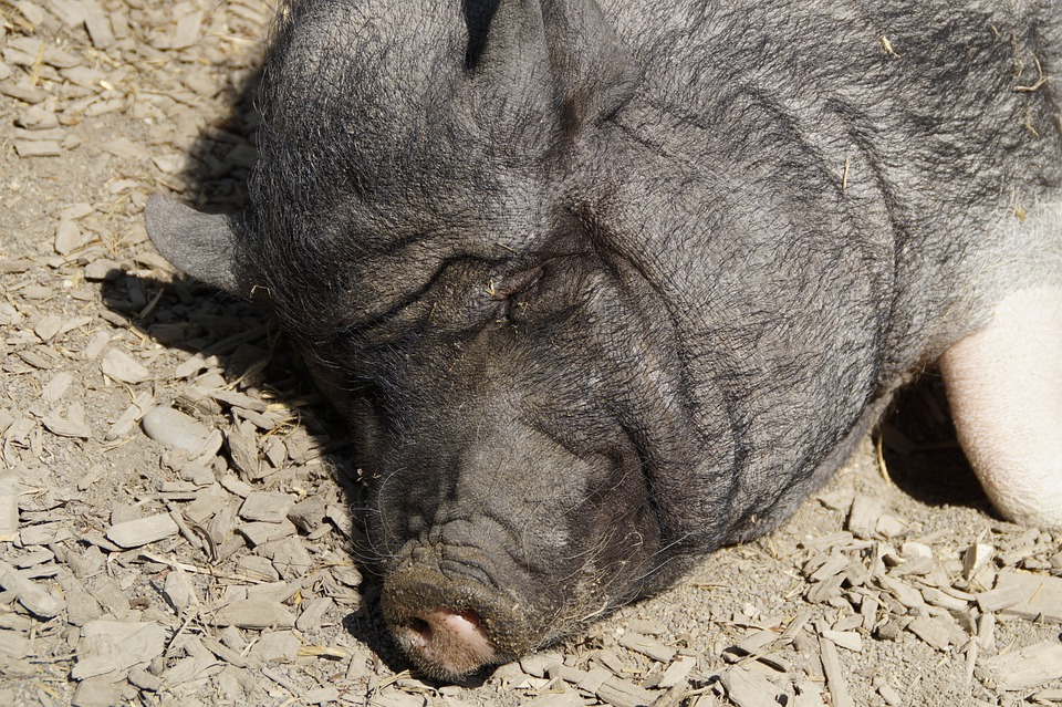 Head, Pig, Miniature Pig, Piglet, Pot Bellied Pig, Farm