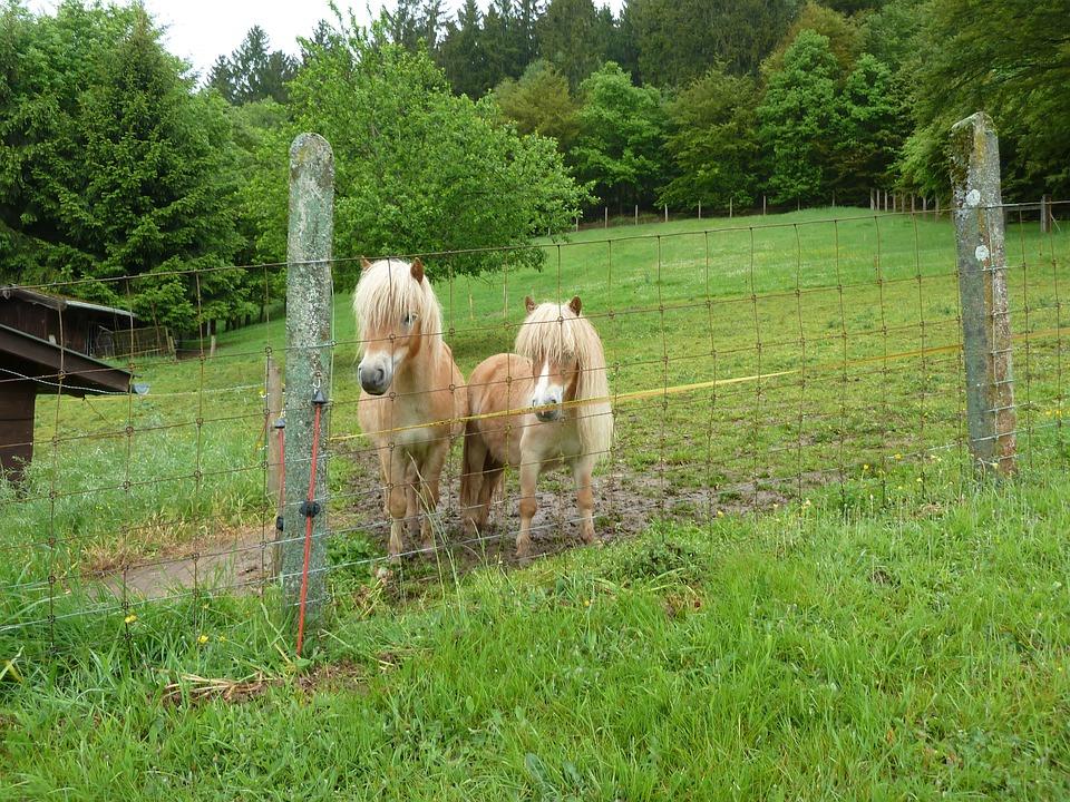 Pony, Shettie, Minishettie, Horse, Animals
