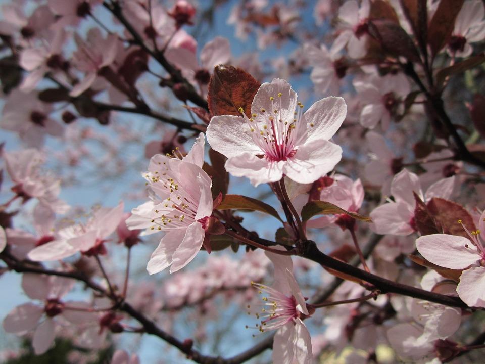 Mirabelle Prune, Mirabelle Plum, Blossoms, Macro, Flora