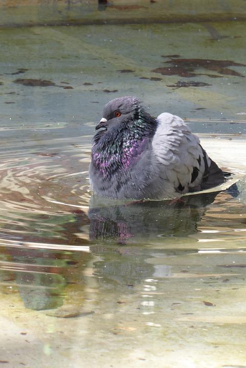 Pigeon, Water, Bath, Mirror, Bird, Hot