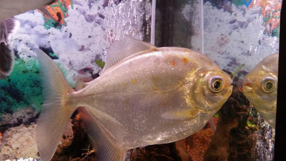 Fish, Aquarium, Piranha, Water, Mirror, Colors