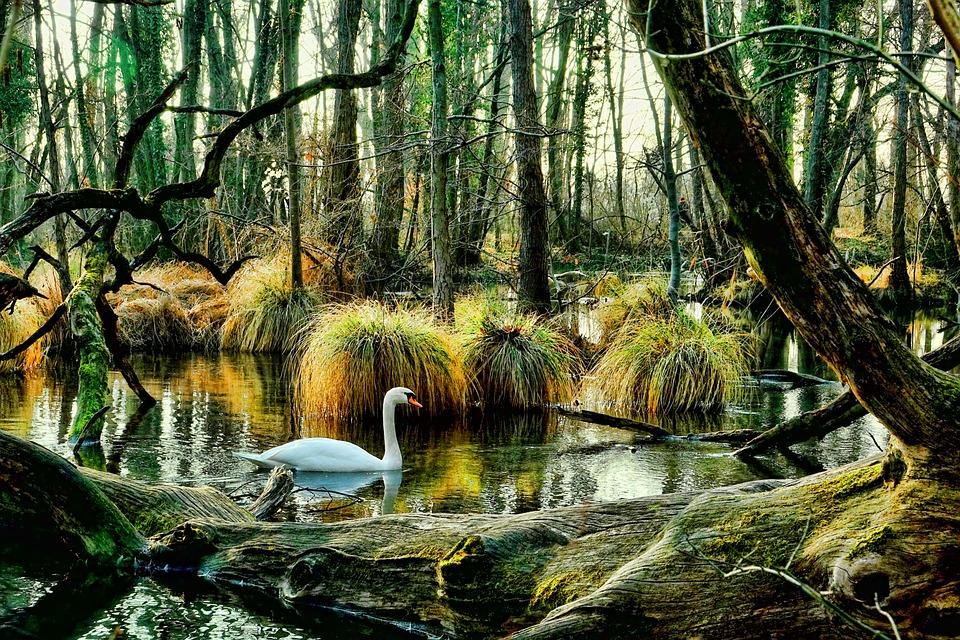 Swan, Wood, Nature, Tree, Leaf, Waters, Mirroring