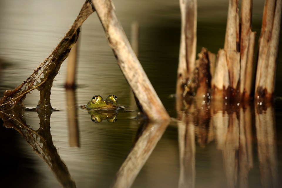 Frog, Water, Pond, Reed, Mirroring, Nature, Amphibian