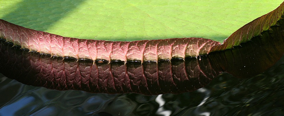 Reflection, Mirroring, Lily Pad, Water, Waterlily