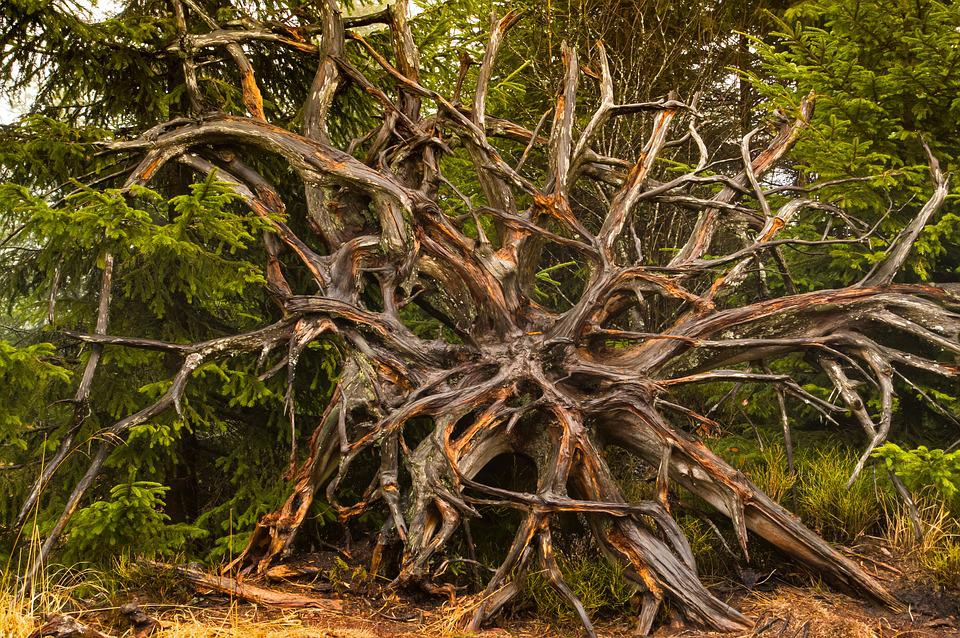 Root, Rhizome, Mis Shapen, Rooted, Tree Trunk