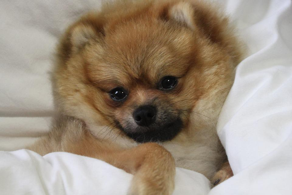 Pomeranian, Spitz Miniature, Misiek, God, The Bed