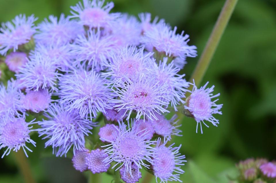 Mist Flower, Blossom, Bloom, Purple, Pink, Close, Plant