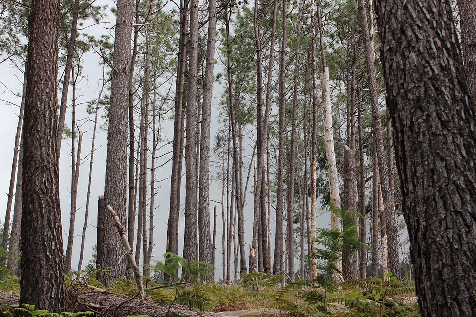 Pine Trees, Madeira, Forest, Haze, Mist, Light
