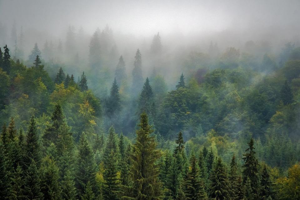 Trees, Forest, Fog, Foggy, Haze, Mist, Misty, Conifers