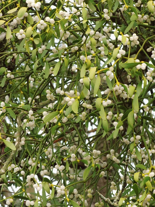 Mistletoe, Parasite, Mistletoe Berries, Plant