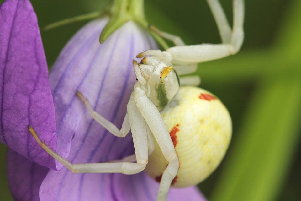 Misumena vatia, Special Spider, Bellflower