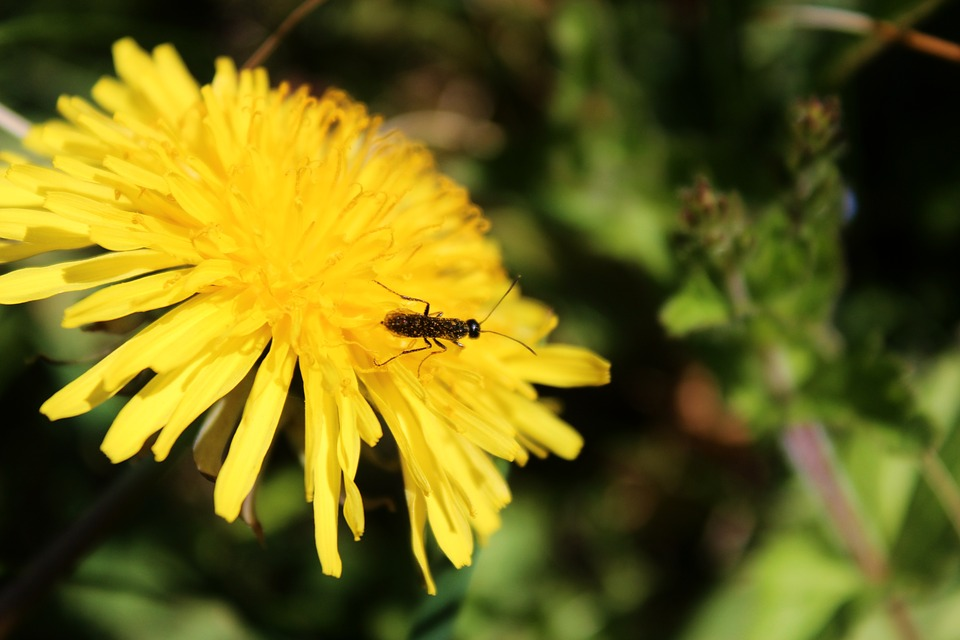 Sonchus Oleraceus, Mleczyk, Ant, Worm, Insect, Plant