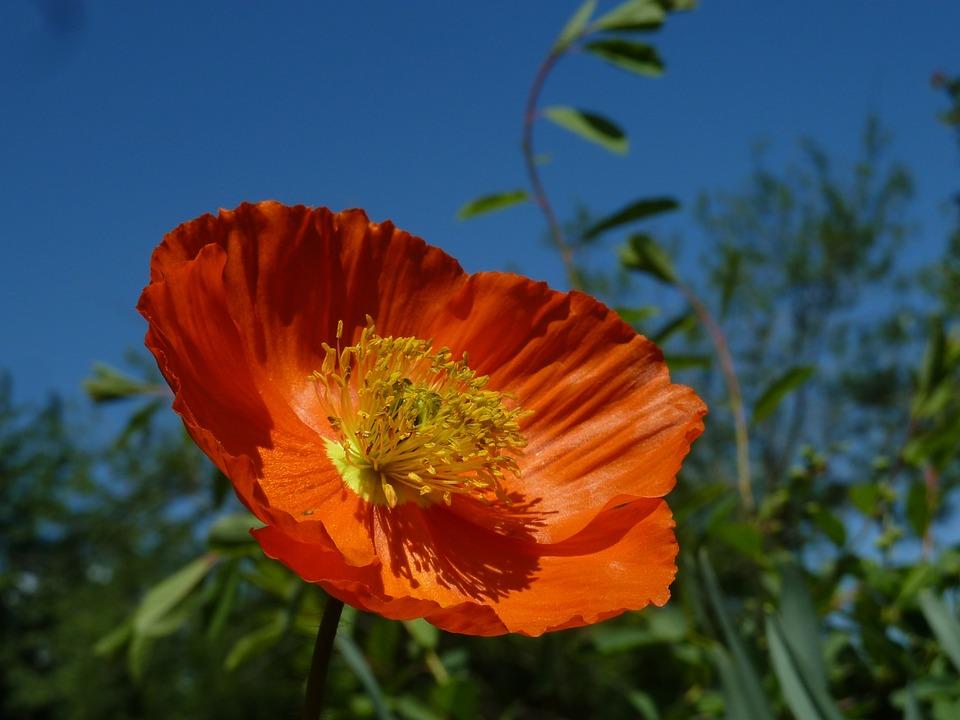 Eschscholzia Californica, Orange, Mohngewaechs, Bright