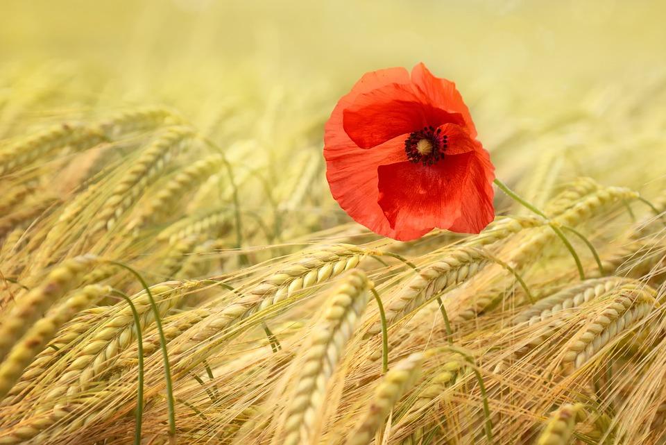 Poppy, Grain, Cornfield, Summer, Mohngewaechs, Cereals