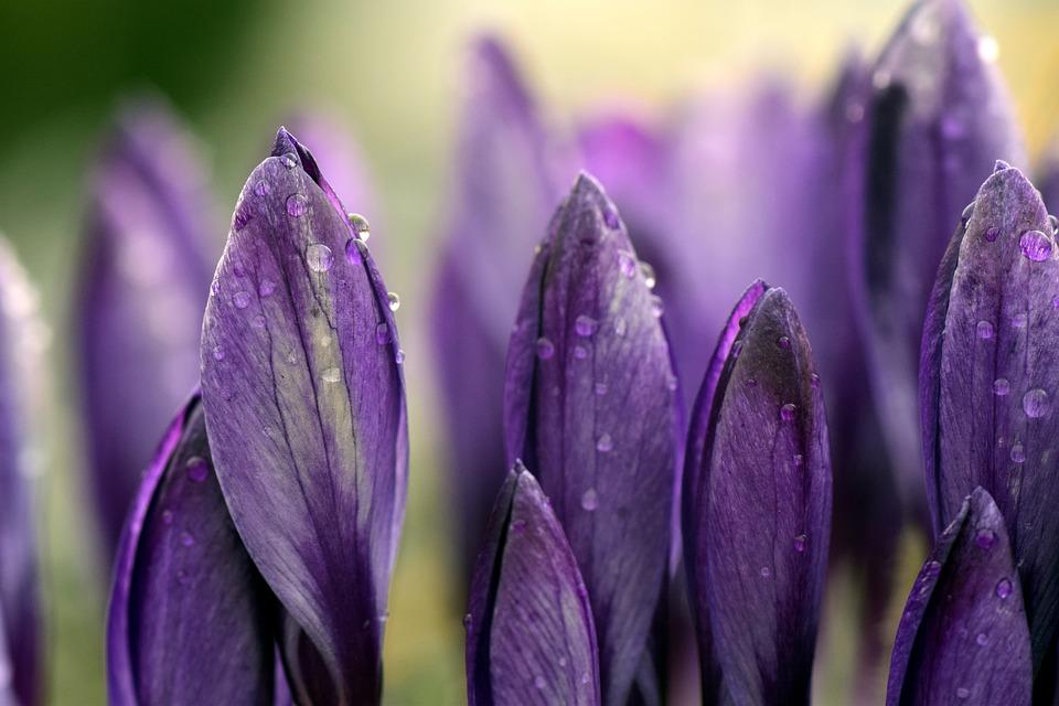 Crocus, Meadow, Close, Purple, Violet, Moist, Rain, Dew