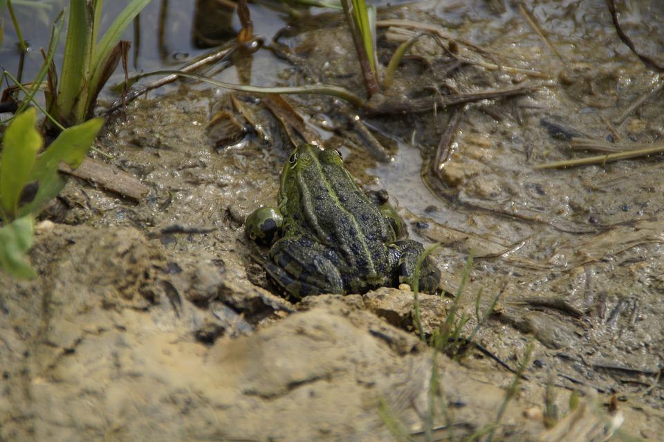 Frog, Habitat, Mud, Moist, Lake, Quagmire, Muddy