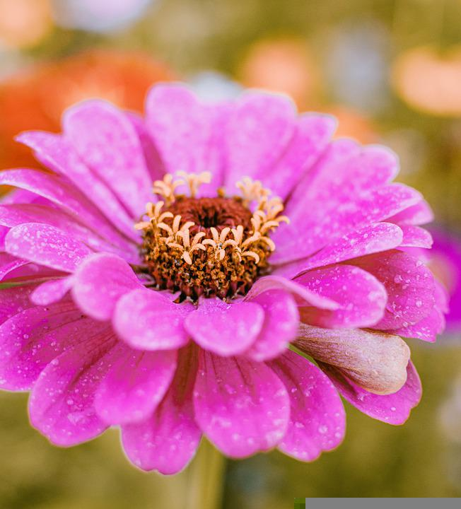 Zinnia, Flower, Moist, Dewdrops, Morning Dew, Dew