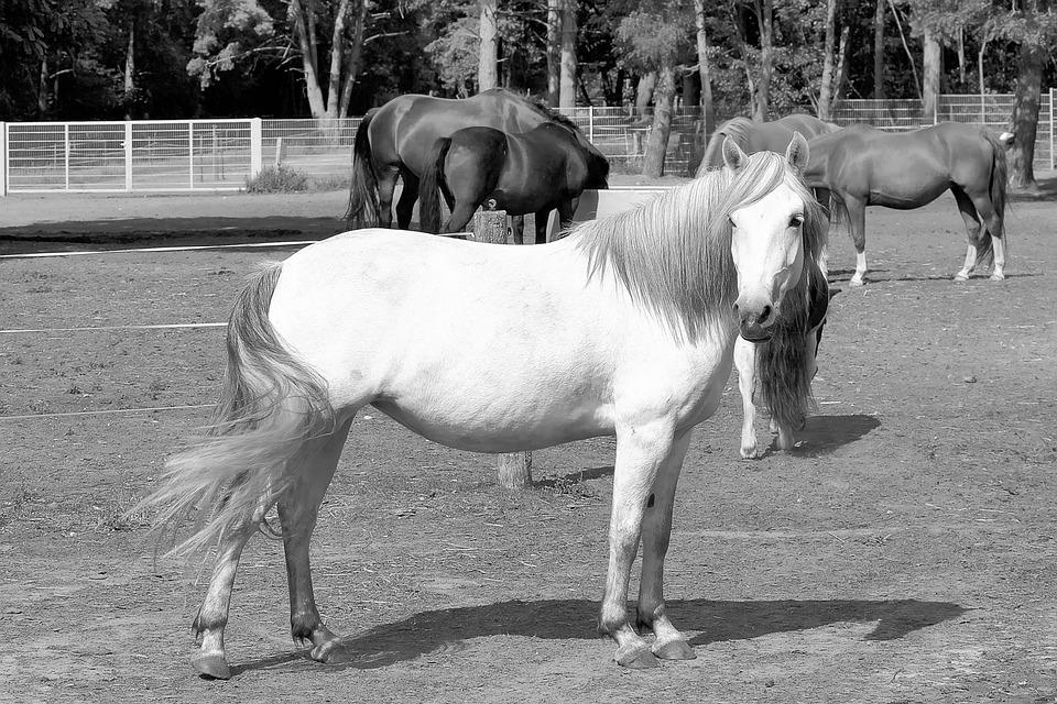 Mold, Horses, White Horse, Black White