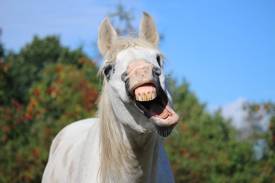 Horse, Stallion, Yawn, Mold, Thoroughbred Arabian