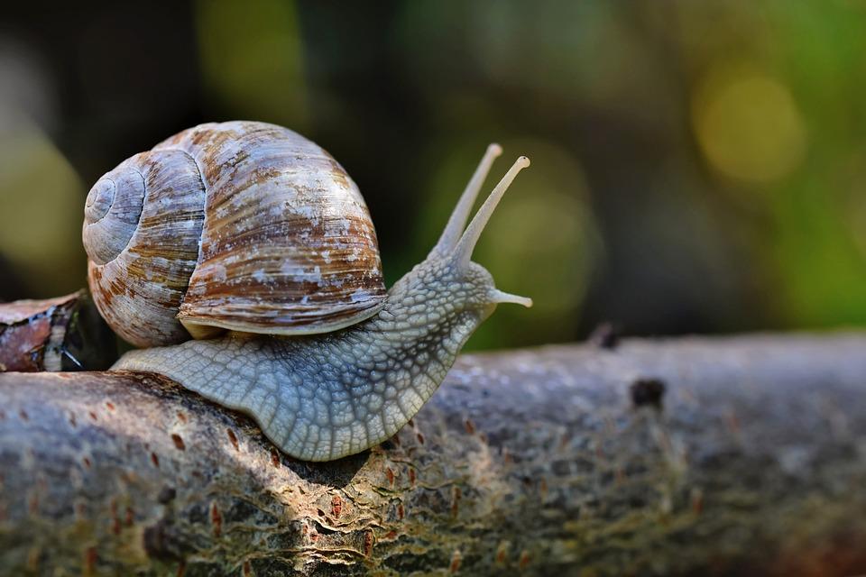 Snail, Sleeve, Mollusc, Shell, Animal, Wildlife, Probe