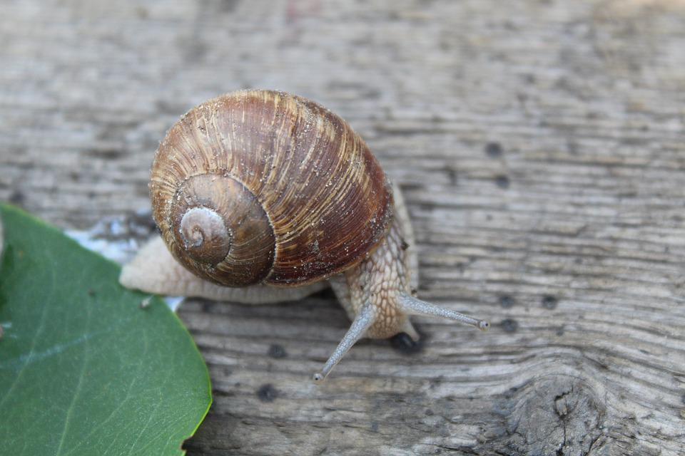 Nature, Snail, Shell, Animal, Slowly, Mollusk, Crawl