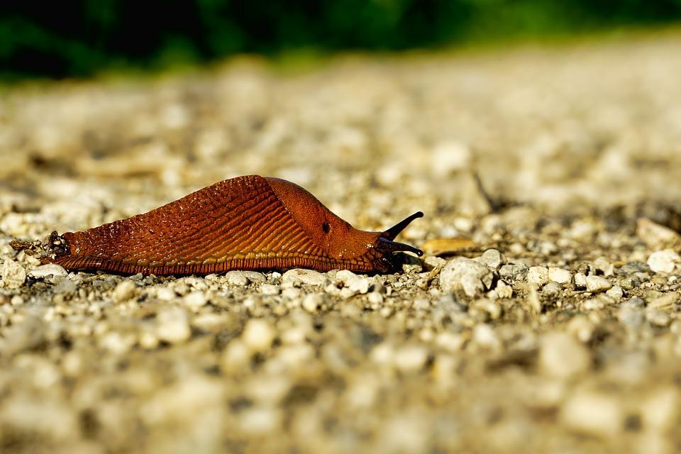 Nature, Animal, Mollusk, Slug, Snail