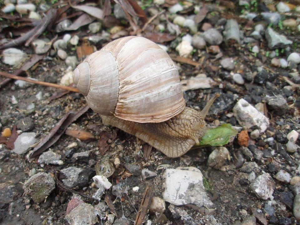 Snail, Crawl, Schnecknehaus, Slowly, Mollusk, Spiral