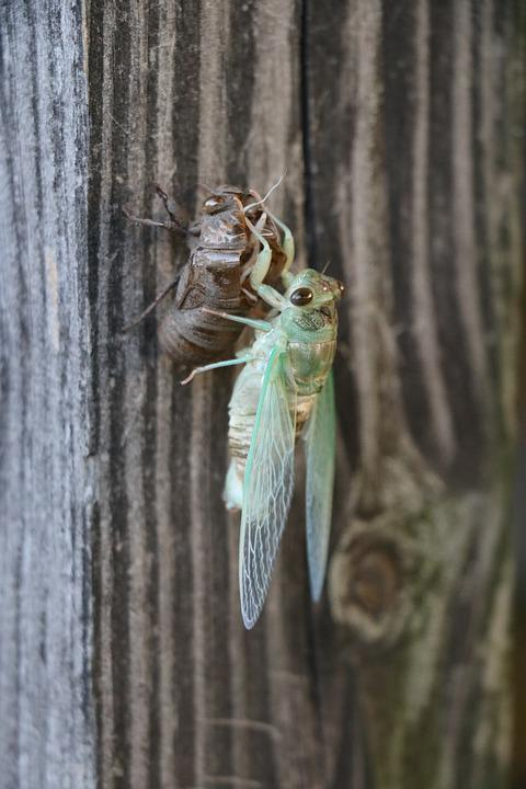 Bug, Cicada, Life Cycle, Molt, Metamorphosis, Insect